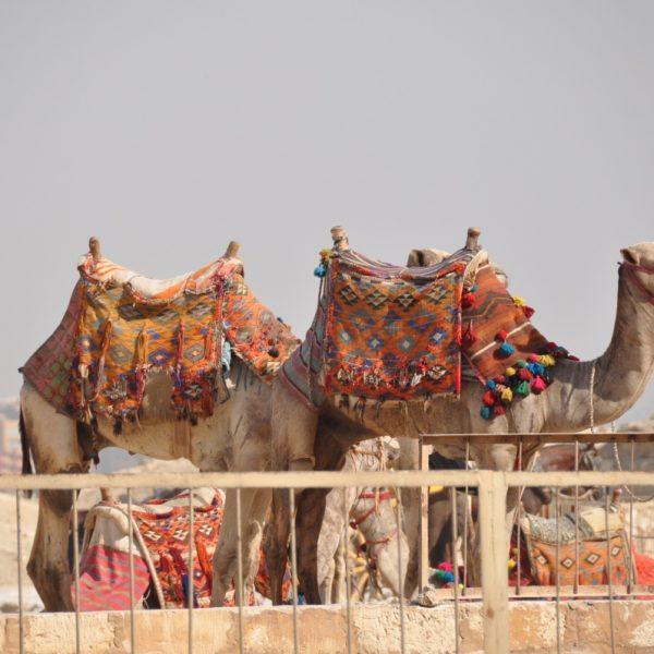 cairo-camels